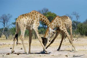 Hwange National Park, Giraffe