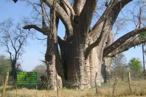 Victoria Falls, 1000 year old Baobab Tree