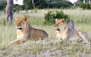 Little Makalolo Camp - Lions